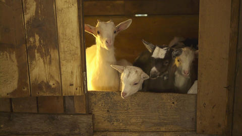 Group Of Young Goats, Sardinia, Italy Footage