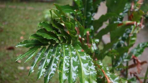 Raindrops falling on the branch of a tropical tree Stock Video Footage
