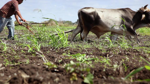 Plow Pulled By Oxen Animals and Man at Work in Farm Stock Video Footage