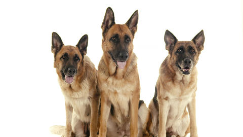 Group Of Purebred Alsatian Dogs On White Backgroun stock footage