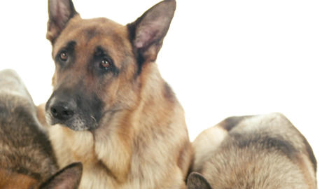 Group of Purebred Alsatian Dogs on White Background Stock Video Footage