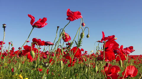Poppy Field and Blue Sky Stock Video Footage