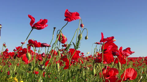 Poppy Field and Blue Sky Footage