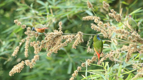 Pin-tailed Parrotfinch Stock Video Footage