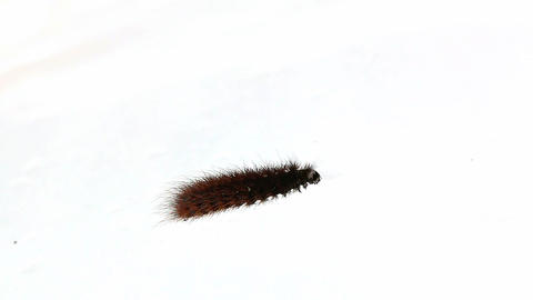 Ruby Tiger moth caterpillar crawling on snow Stock Video Footage