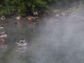 Ducks in the fog. 320x240 Footage