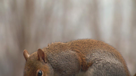 squirrel close up slow motion 01 Footage