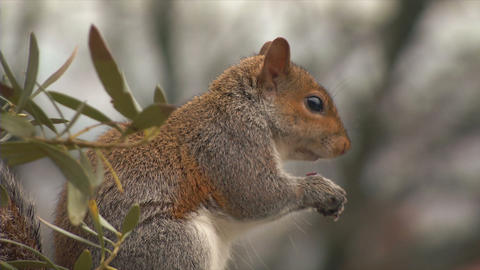 squirrel close up slow motion 03 Stock Video Footage