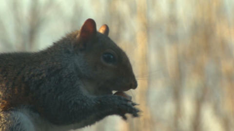 squirrel close up slow motion 05 Stock Video Footage