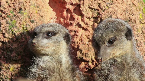 Meerkat Couple stock footage