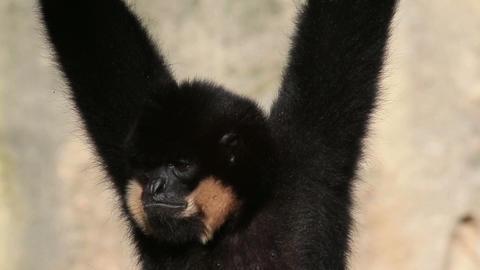 Gibbon Footage