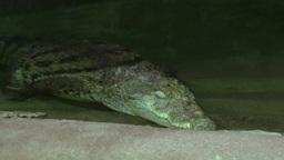 Nile Crocodile Footage