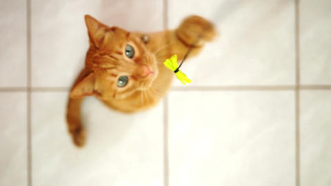 Handicapped Cat Playing with String Toy Footage