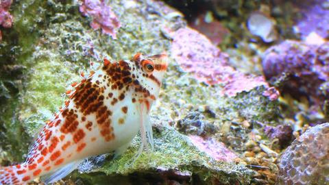spotted hawkfish (Cirrhitichthys aprinus) on aquar Footage