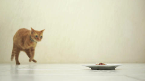 Amputee Feline Walking To Food stock footage