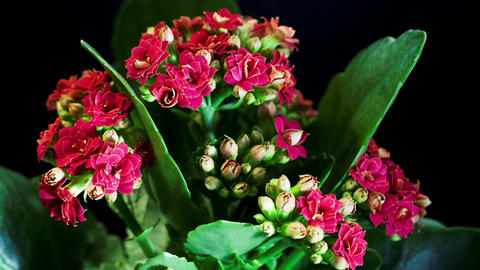 Kalanchoe flower Footage