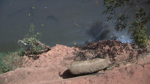 Pig Walks Beside Polluted River, Burkina Faso - FT stock footage