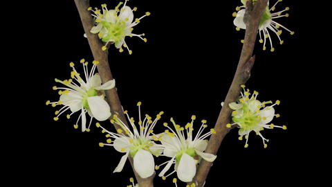 Time-lapse Of Blooming Plum Tree Branch 2a1 stock footage