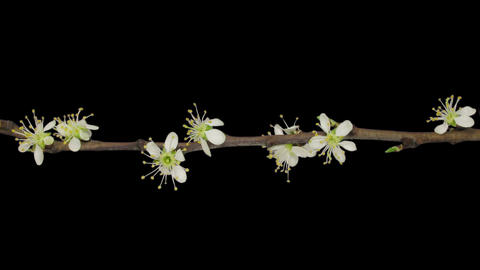 Time-lapse Of Blooming Plum Tree Branch 3v1, Verti stock footage