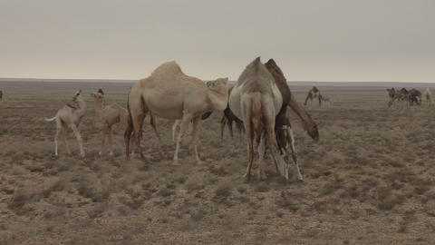 Western Sahara Camel Herd 2 - FT0017 stock footage