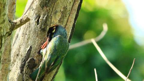 Coppersmith Barbet In The Hole stock footage