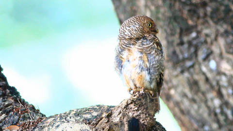 Spotted owlet Live Action