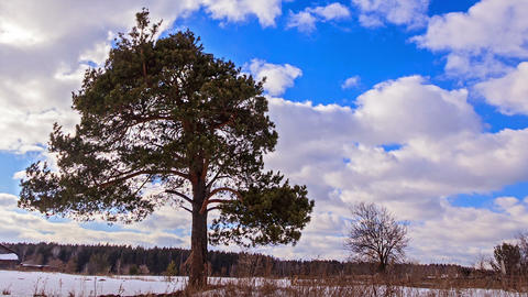 Pine Against The Sky. Time Lapse stock footage