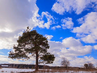 Separately Growing Pine Against The Sky. Time Laps stock footage