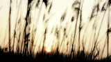 Duck Flyby Twilight Silhouetted Plume Reeds stock footage