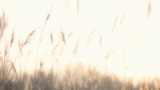Plume Reeds In Bright Sunlight stock footage