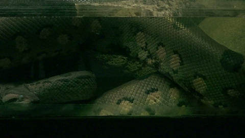 The Reticulated python is the largest snake in the Footage