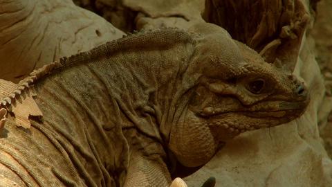 head of the rhinoceros iguana (Cyclura cornuta) Footage