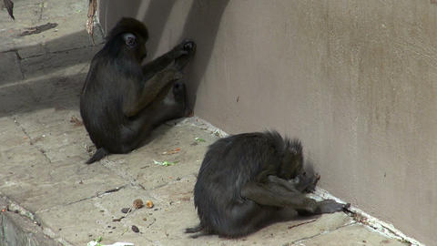 Couple Of Monkeys Who Care And Give Their Attentio stock footage