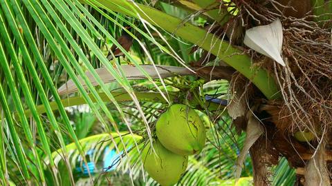 Coconuts Footage