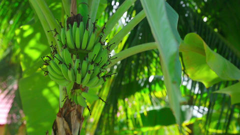 Banana Tree stock footage