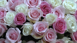 Pink And Cream Color UK Roses Arranged In A Huge P stock footage
