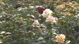 Different colors of UK roses in full bloom.(ROSE-- Footage