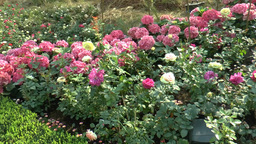 Different colors of UK roses bloomed with other fl Footage