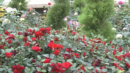 Red color UK roses surrounded by other kind of flo Footage