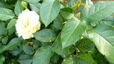 UK rose trees with yellow roses and rose buds. (RO Footage