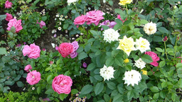 Different Colors Of UK Roses In Full Bloom.(ROSE-- stock footage