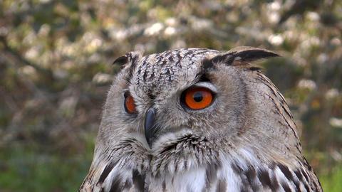 eagle owl (bubo bubo) closeup staring Footage
