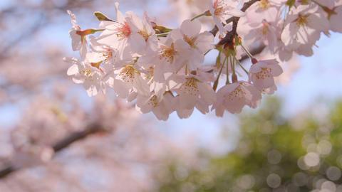 2160p (12bit RGB4:4:4) Sakura Live Action