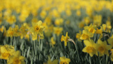 Yellow Trumpet Narcissus Daffodils Trembling In Th stock footage