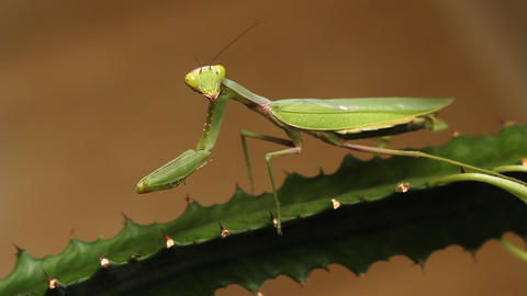 Mantis stock footage