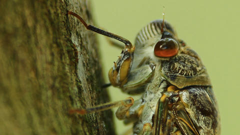 Cicada sucking sap Footage