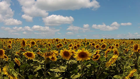 Sunflowers And Fast Clouds stock footage