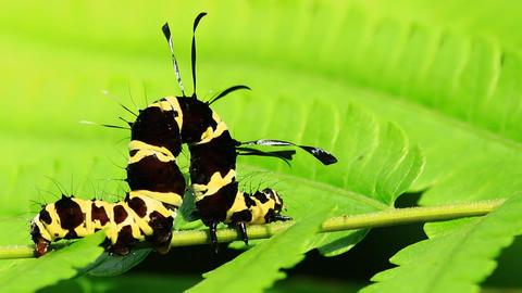 Roseapple Caterpillar Footage