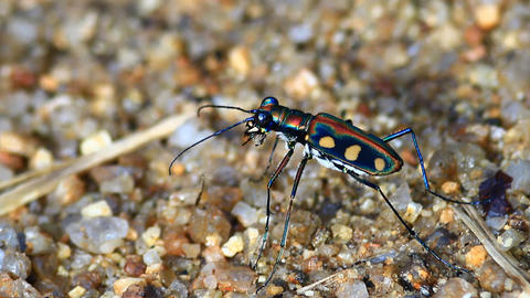 Tiger Beetle stock footage