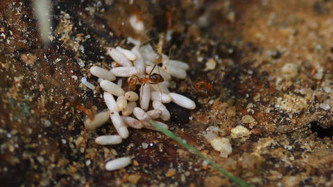 Army Ants Carrying Their Larvae stock footage